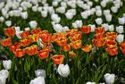 Favoritner Tulpenpanorama