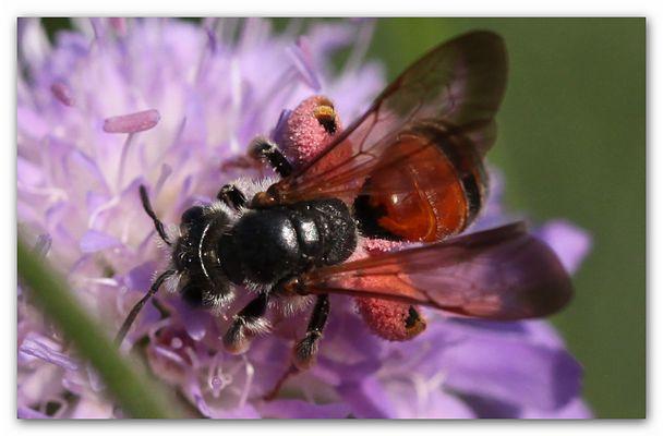 fc Andrena hattorfiana_8599 (2)