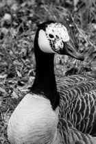 feast plumage