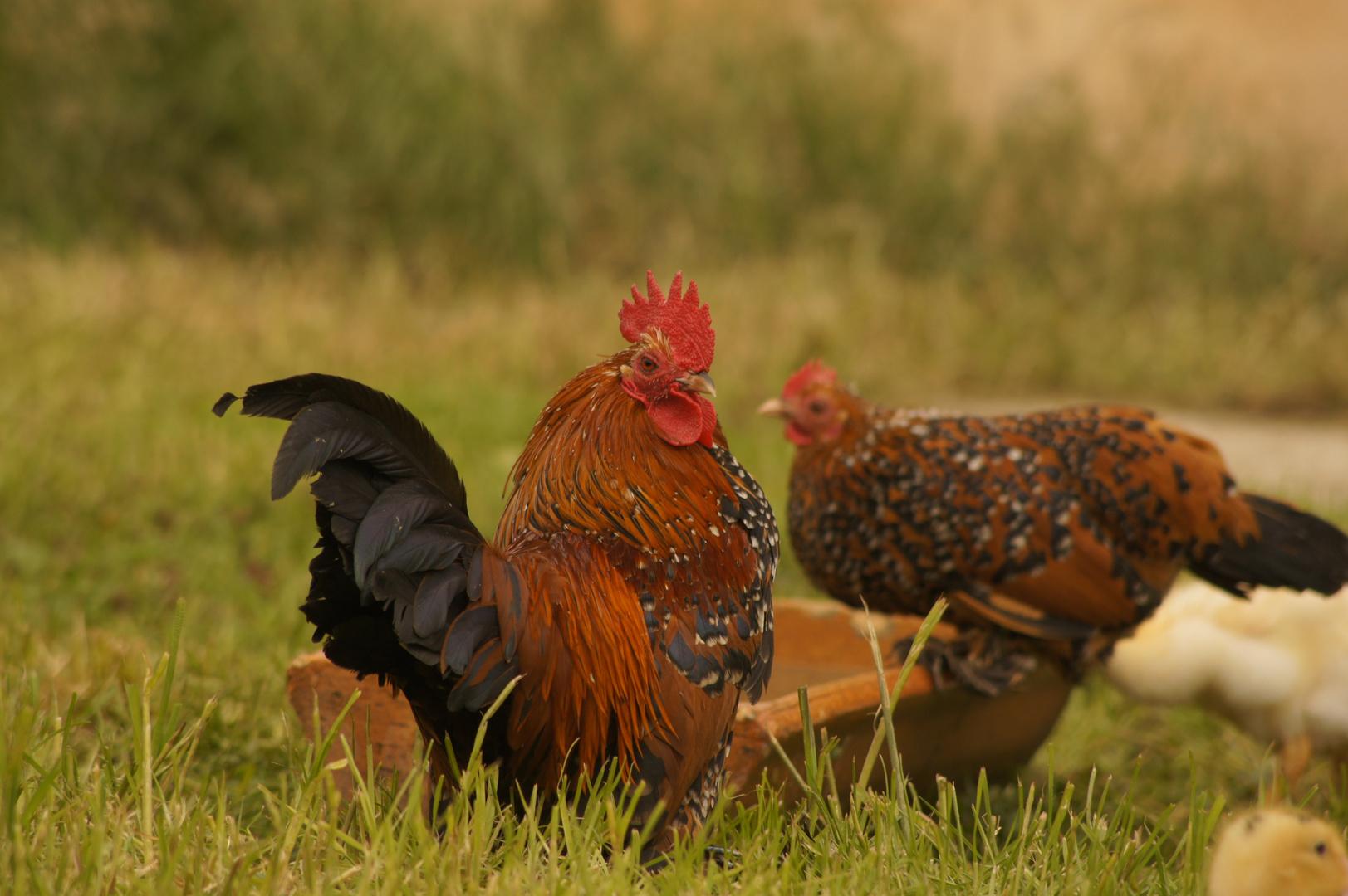 Federfüßige Zwerghühner goldporzelanfarbig