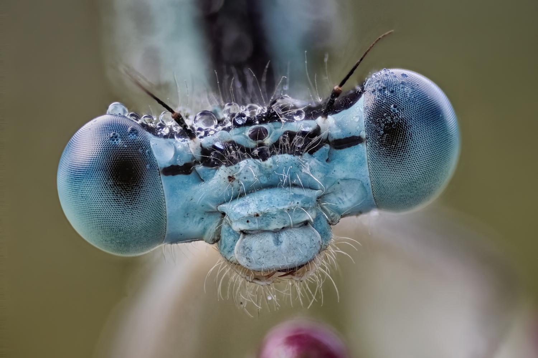 Federlibelle (Platycnemis pennipes).