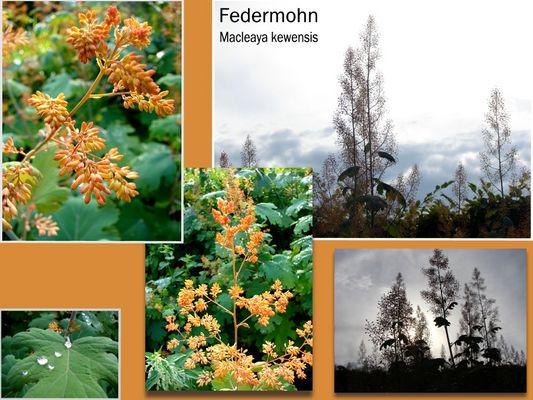 Federmohn