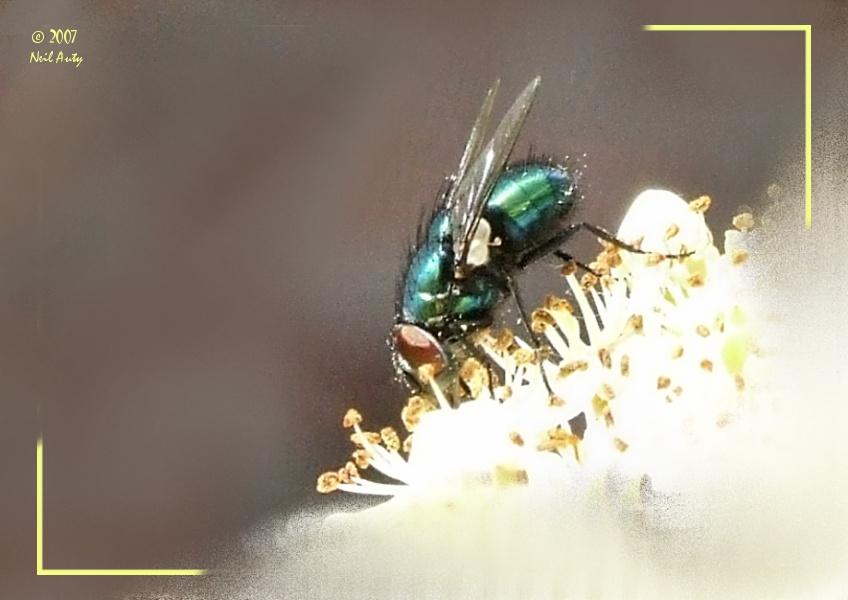 Feeding fly