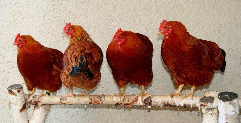 Feierabend.... oder Hühner auf der Stange