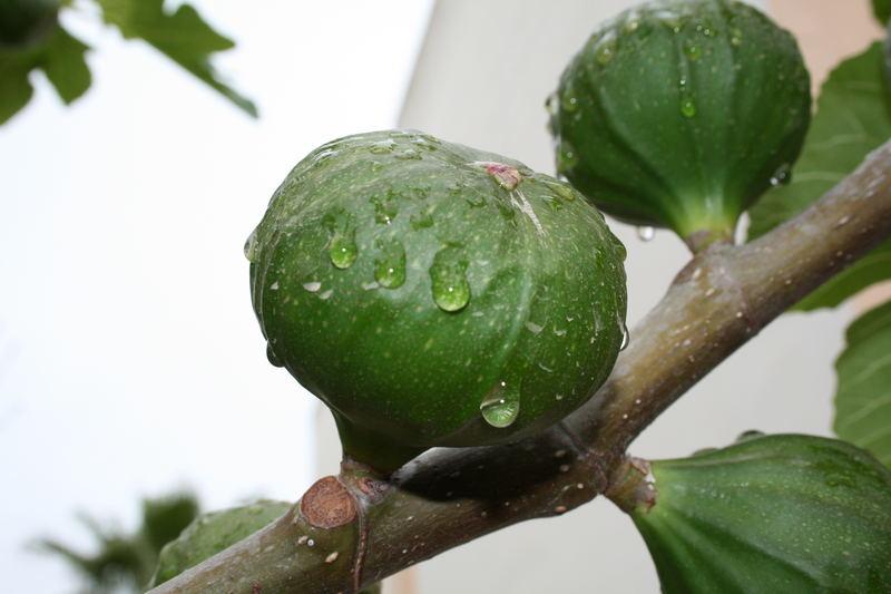 Feigen im Regen