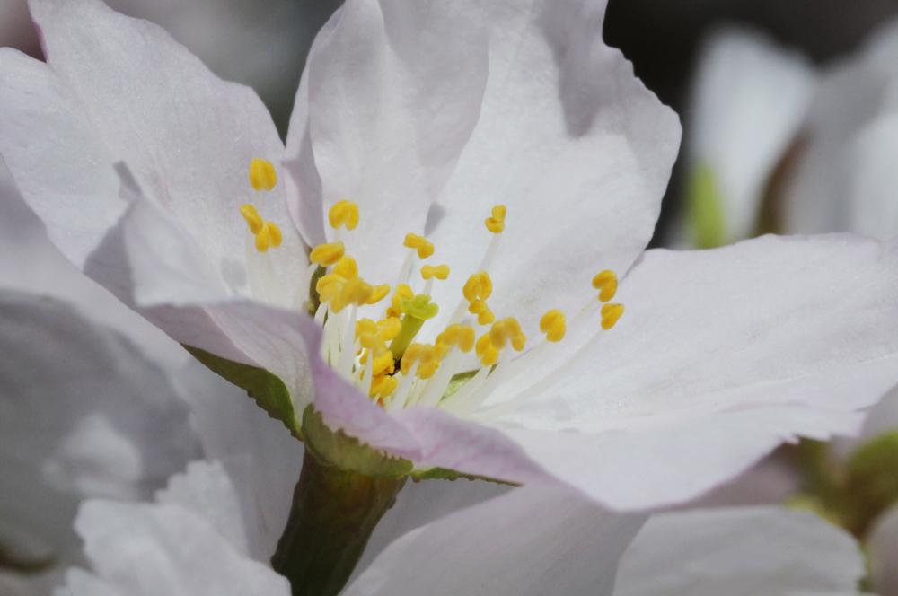 feine weisse blüten