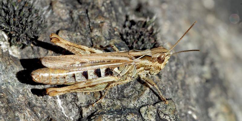 Feld-Grashüpfer (Chorthippus apricarius) - Criquet des adrets.