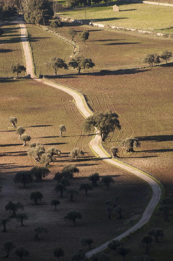 Feld mit Oliven-Bäumen