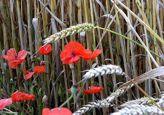Feldblumen als Mittwochsblümchen