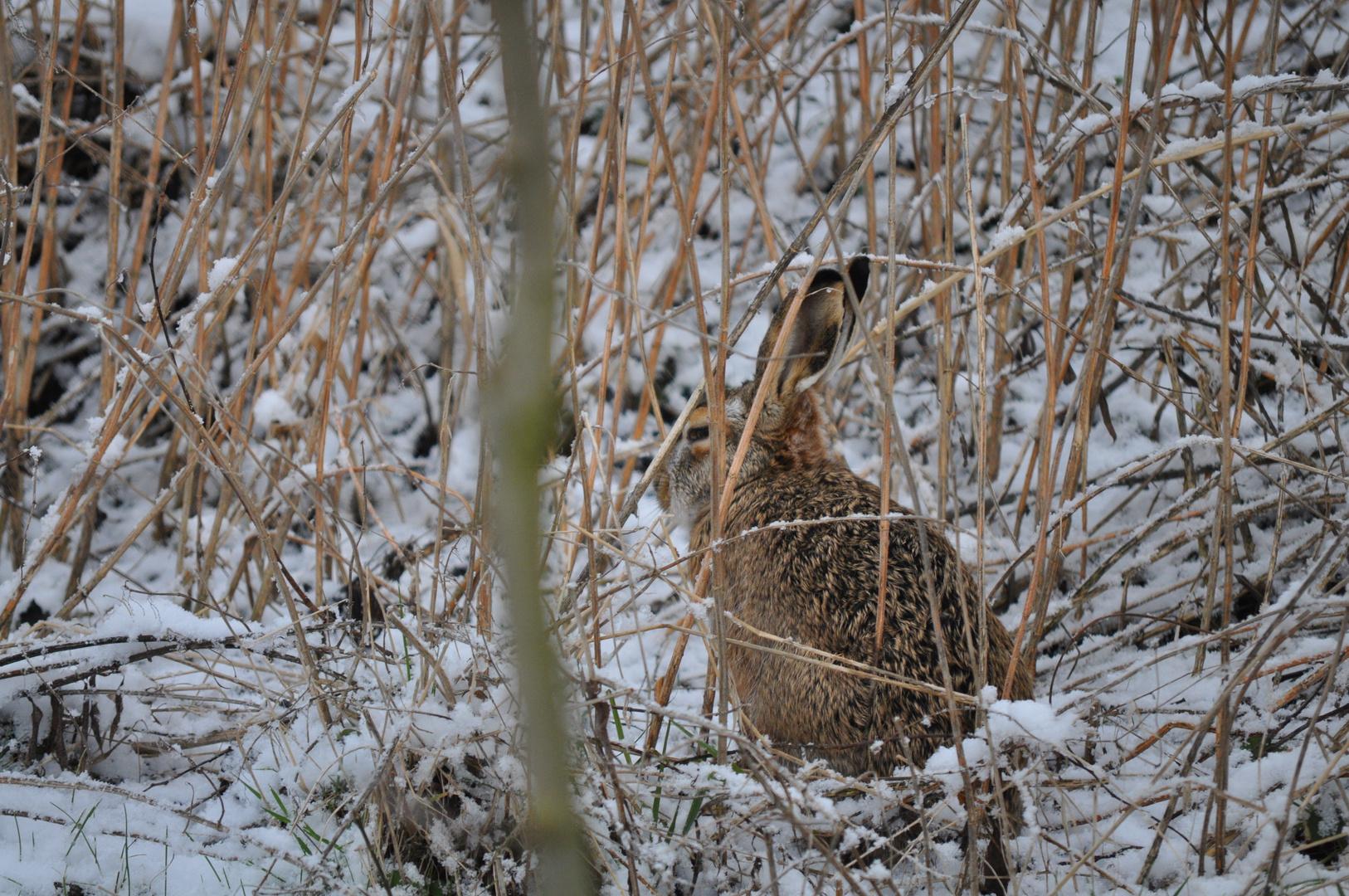 Feldhase im Schnee