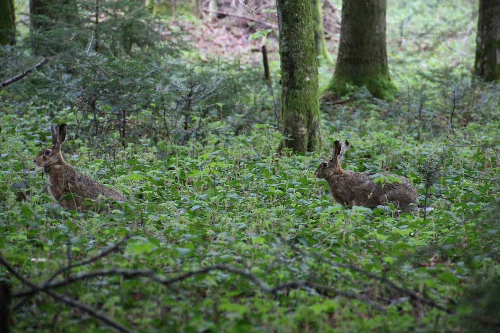 Feldhasen im Wald