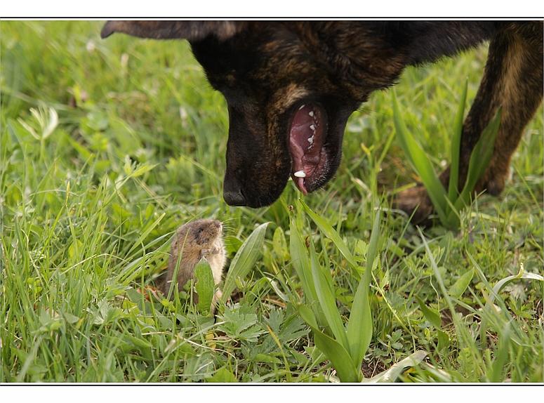 Feldmaus & Hund