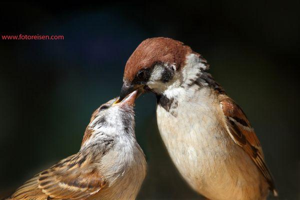 Feldspatz beim Füttern des Jungvogels