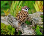 - Feldsperling - ( Passer montanus)