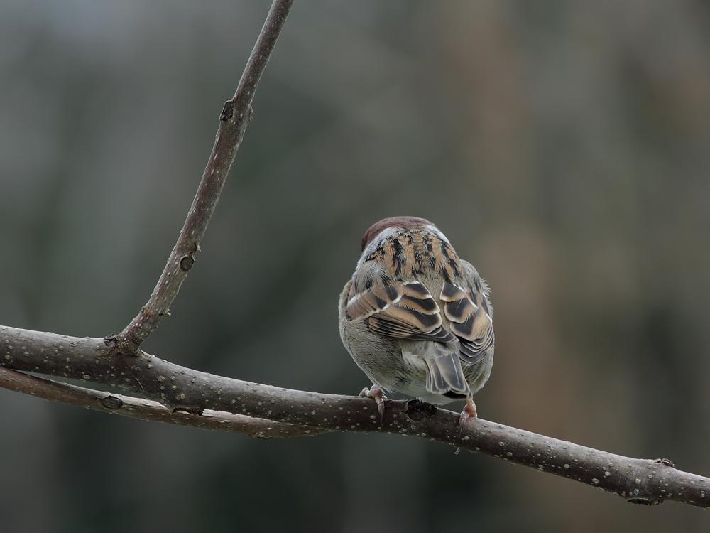 Feldsperling (Passer montanus) ein schöner Rücken.......