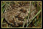 Feldwespen mit Nest