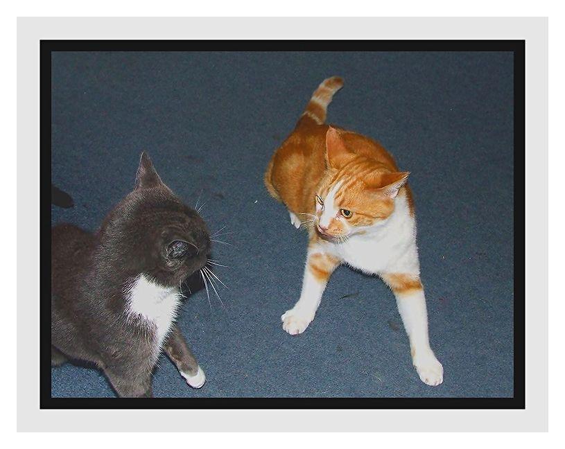 Feline square-off