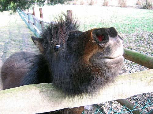 Felix das Pony aus Speckhorn