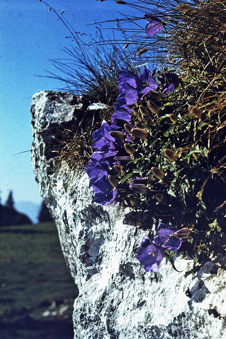 Felsen mit blauen Glockenblumen