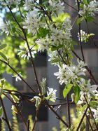 Felsenbirne in voller Blüte