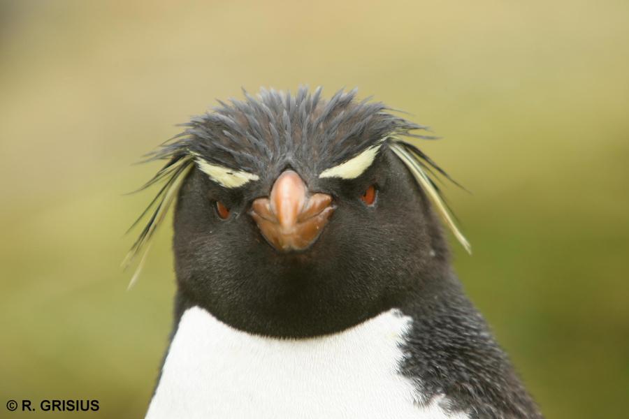 Felsenpinguin auf den Falkland Inseln
