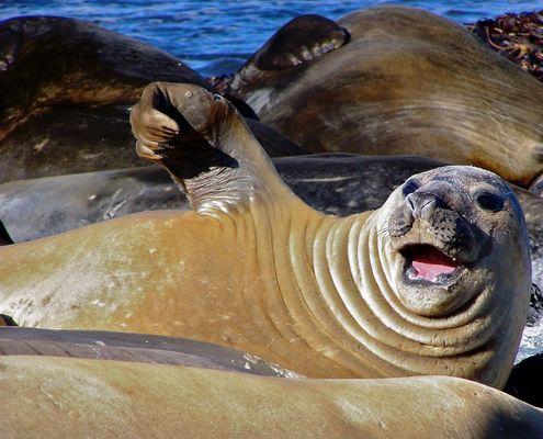 Female Elephant Seal Waving