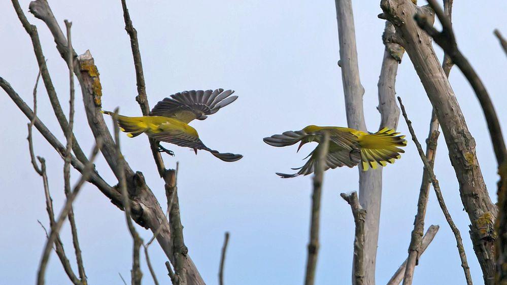 female golden oriols in fight