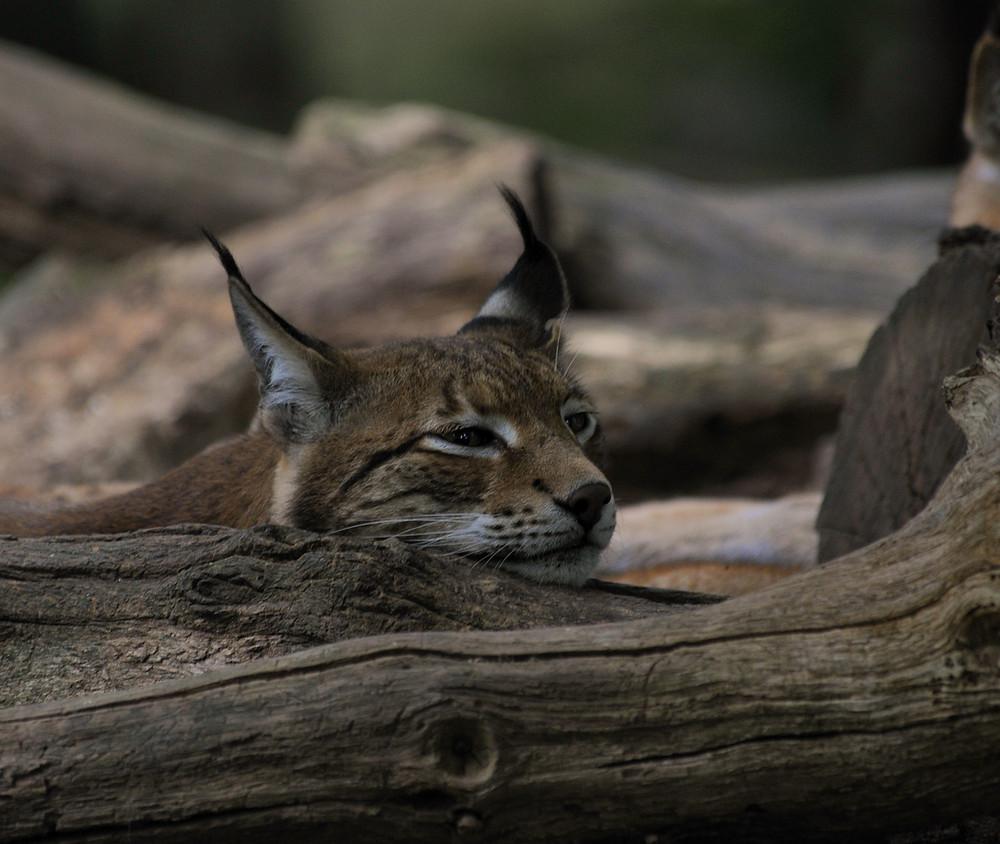 femelle lynx au repos