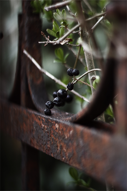 Fence Berry