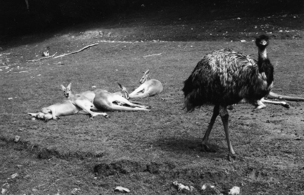 Féneantise kangourouesque.