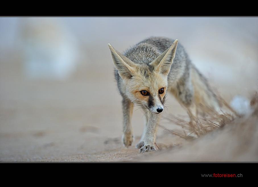 Fenek - Wüstenfuchs