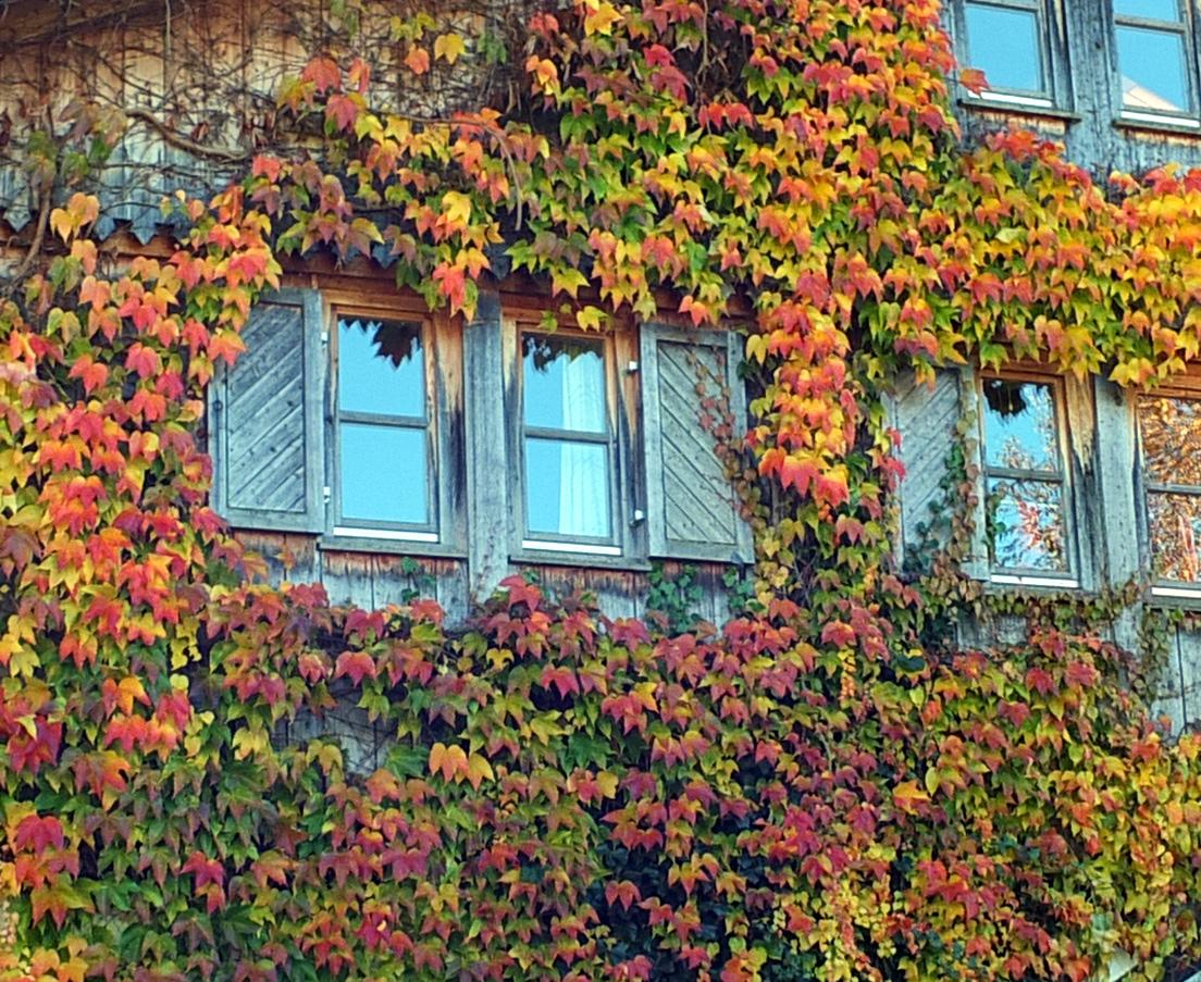 Fenster im Weinlaub
