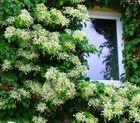 Fenstern ist immer hübsch !Kletterhortensie  (Hydrangea anomala ssp. petiolaris)