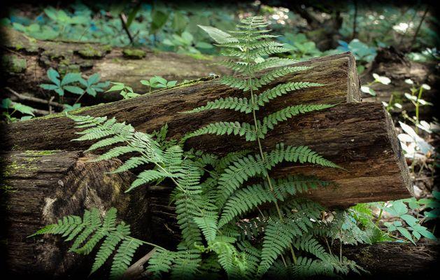 Fern / Tree Stump 1