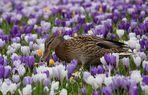Festliches Frühlingsmenü... blühende Krokusse