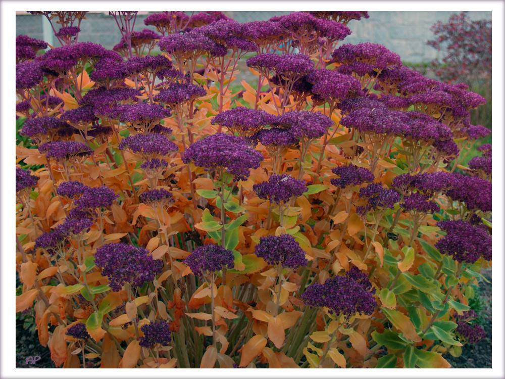 fette henne foto bild pflanzen pilze flechten bl ten kleinpflanzen gartenpflanzen. Black Bedroom Furniture Sets. Home Design Ideas