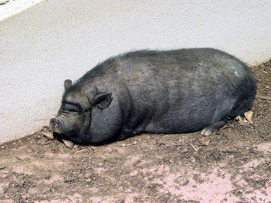 fettes schweinderl