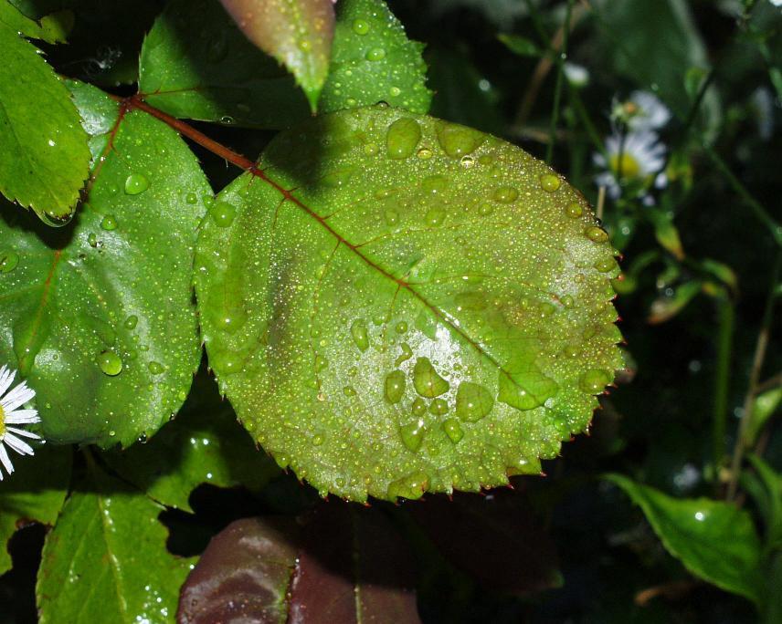 Feuchte Blätter bei 35°