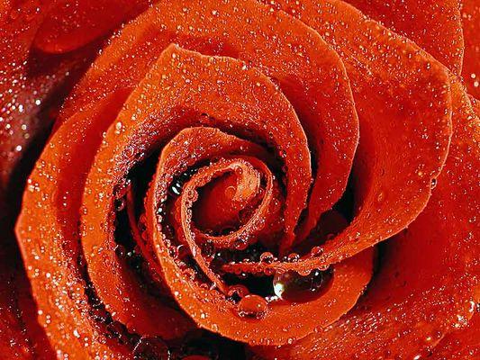 feuchte Rose