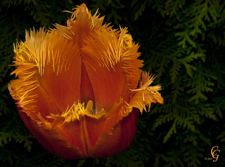 Feuer-Tulpe