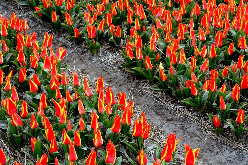 Feuer - Tulpen