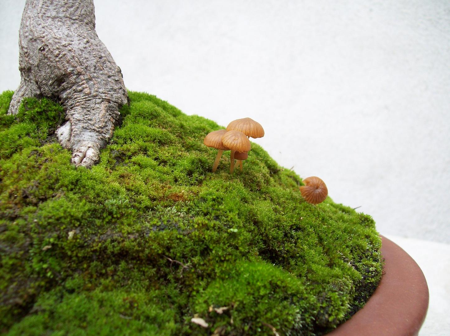 Feuerahorn mit Pilzen