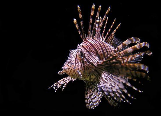 Feuerfisch, 3. Versuch