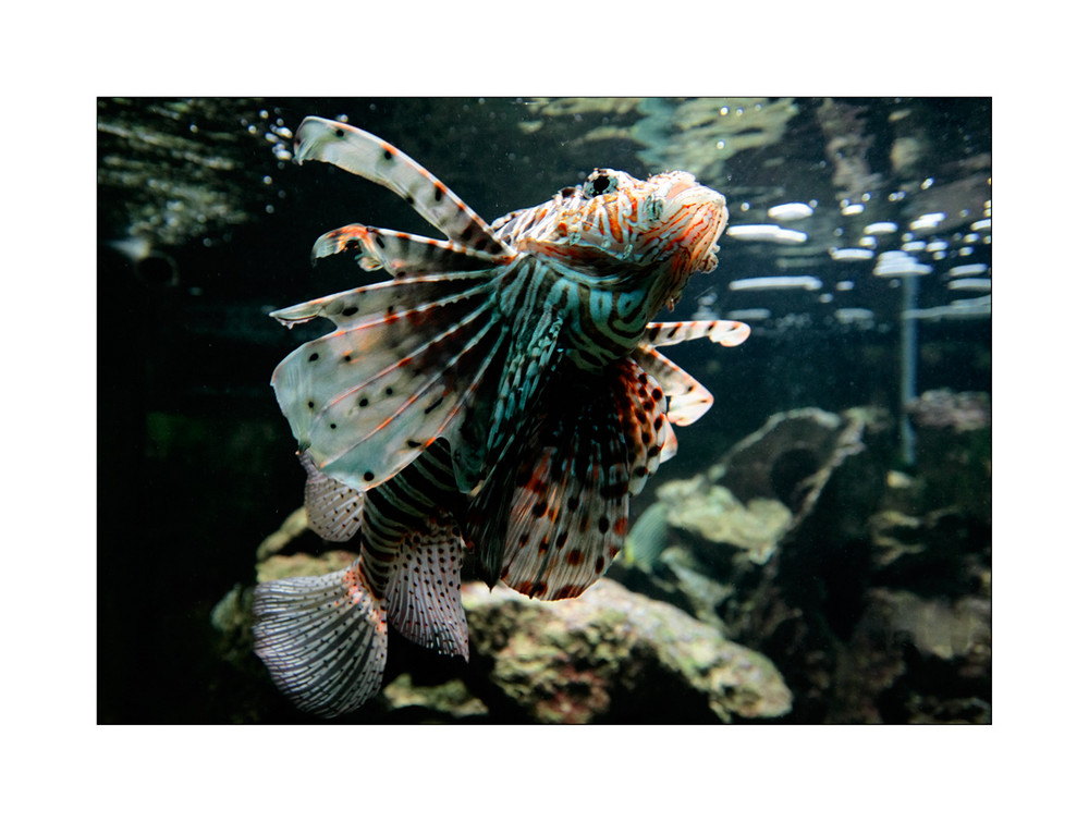 *feuerfisch*