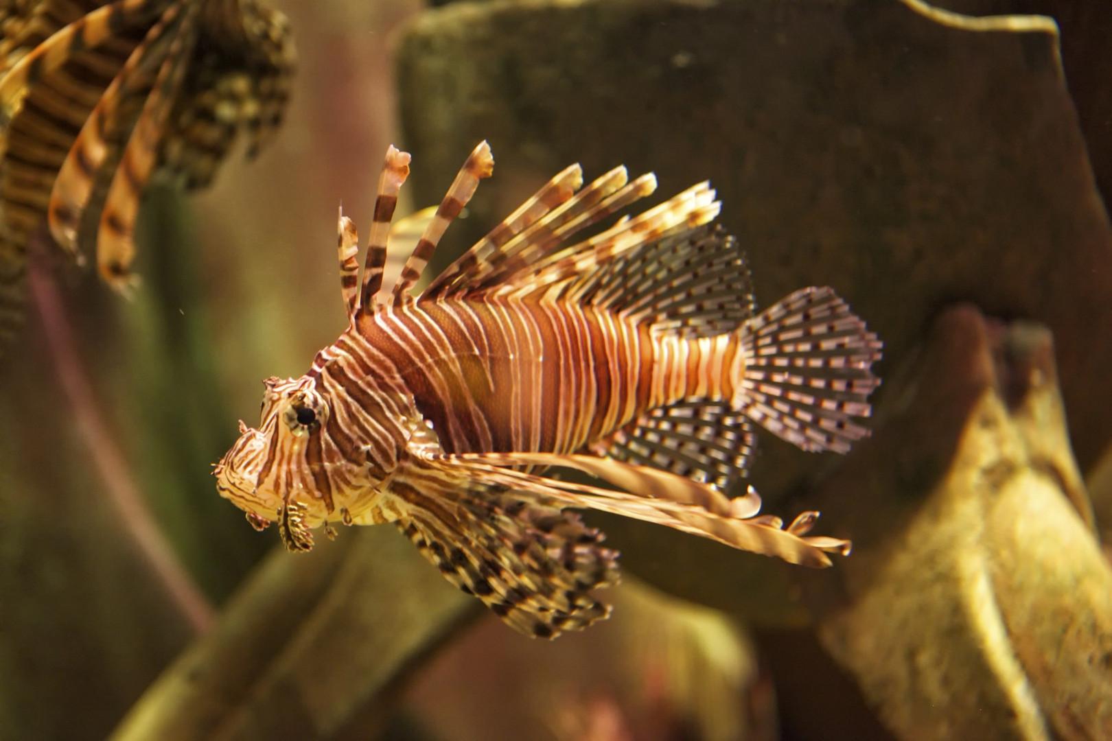 Feuerfisch