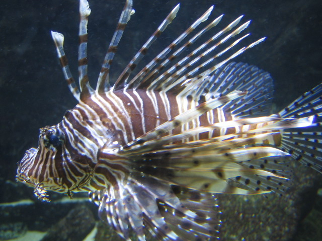 Feuerfisch Hugo