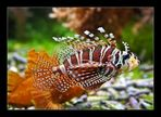 Feuerfisch (Pterois)