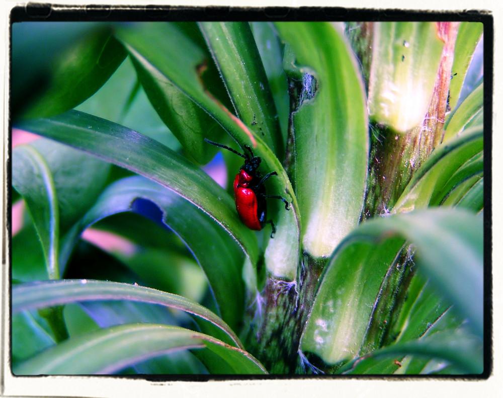 Feuerkäfer auf Feuerlilie