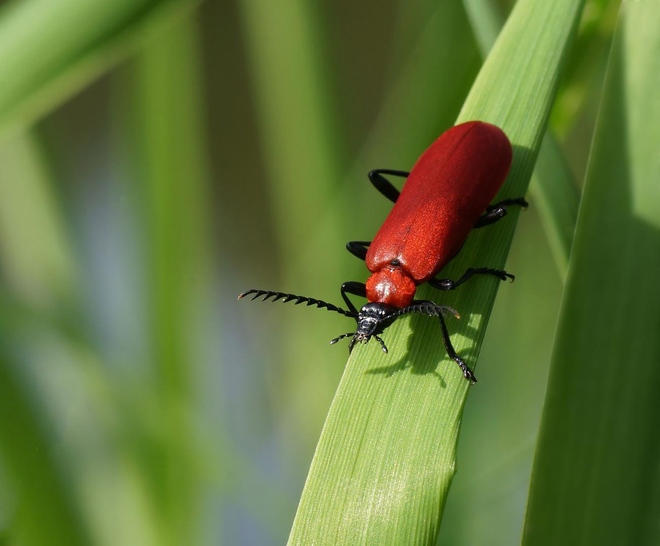 Feuerkäfer - Pyrochroidae
