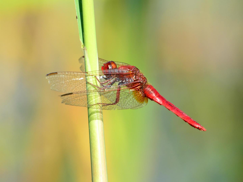 Feuerlibelle 2 (Crocothemis erythraea)